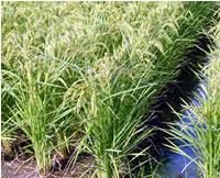 不耕起栽培米